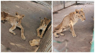 Our Observer Osman Salih took this photo of the starving lions in the Khartoum zoo.