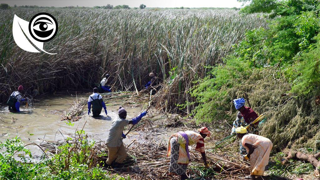 Des villageois près de Garack, en Mauritanie, coupent le typha, une plante nuisible près du fleuve Sénégal, pour la valoriser. Photo Le Gret.