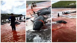 A selection of screenshots from a Facebook Live filmed by a Sea Shepherd activist. Source: Sea Shepherd Faroe Islands Campaign