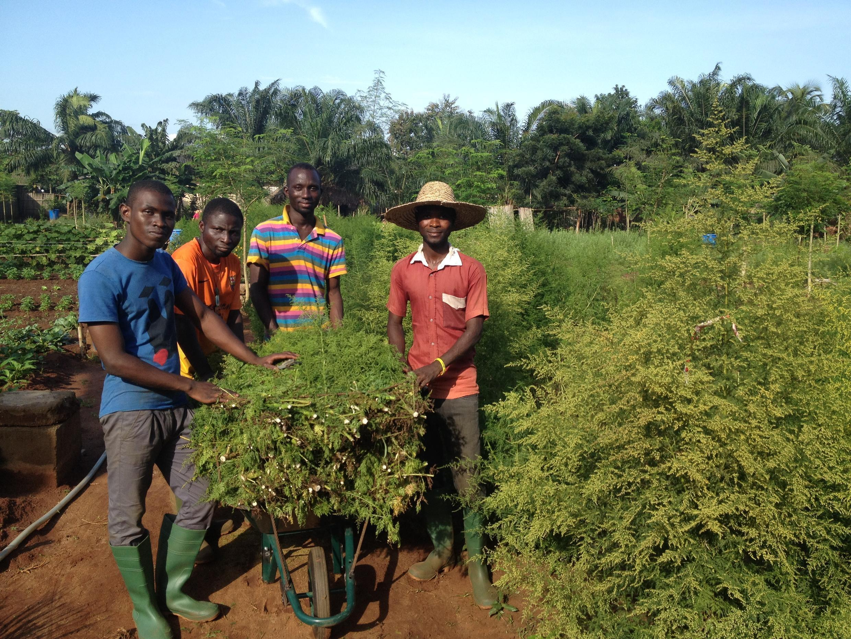 La récolte de l'artemisia dans une ferme agro-écologique au Bénin. Photo publiée le 4 octobre sur la page Facebook de l'association La Ferme de la Providence.