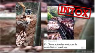Deux vidéos montrant de supposés cochons abattus sont associés à l'épidémie de coronavirus. Pourtant, ces contenus n'ont rien à voir avec l'épidémie récente.