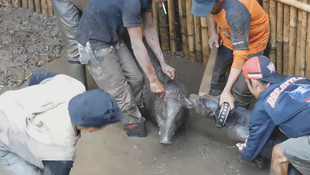 Screengrab of a video showing a fight between a dog and a wild boar in the Indonesian province of West Java. (video sent to the Observers by Scorpion Wildlife Trade Monitoring Group.)