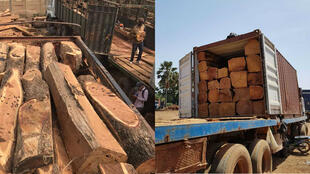 Kosso wood cut into cants, or squared-off logs, being loaded onto trucks. Our Observer works for a Chinese company that buys wood from the Malian company Générale Industrie du Bois.