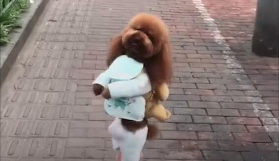 Capture d'écran de la vidéo montrant le chien habillé comme un enfant en train de marcher dans les rues de Shanghaï.