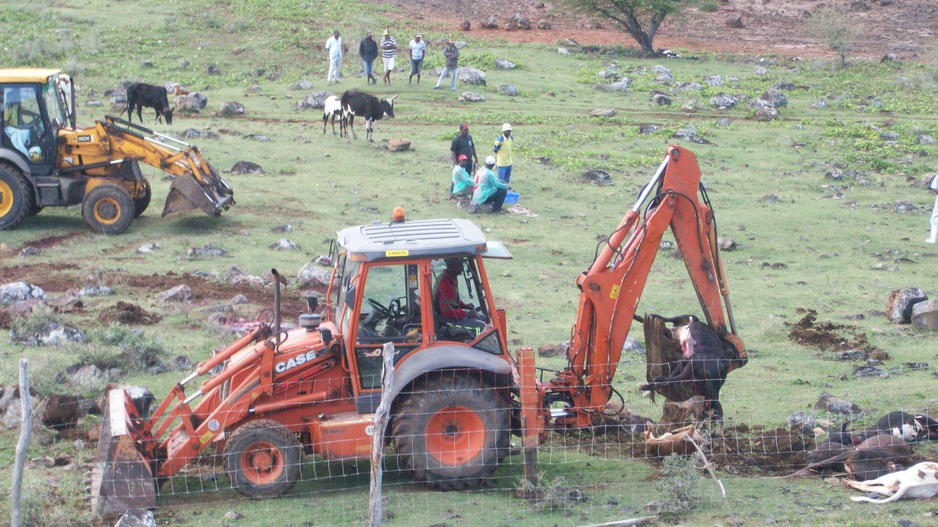 Les animaux tués par les autorités ont été ramassés à la pelleteuse, avant d'être enterrés. Photo transmise par un journaliste à un habitant, qui l'a envoyée à France 24 (avec son accord).
