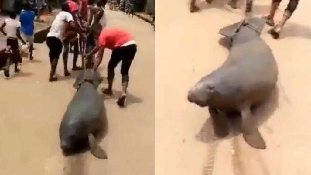 Captures d'écran d'une vidéo diffusée sur les réseaux sociaux et montrant un lamantin ligoté et traîné dans la rue au Nigeria par des jeunes. Le mammifère aquatique est en voie de disparition.