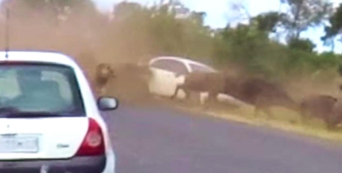 En plein coeur du parc Kruger, une voiture a été chargée par un troupeau de buffle poursuivi par des lions.