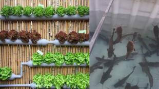 À Douala, une jeune start-up propose aux habitants des modules adaptés à la taille de leurs balcons ou cours afin qu'ils produisent eux-mêmes leurs légumes et poissons à domicile. Crédit photos: Hermann Djoko / Energy for all-co.