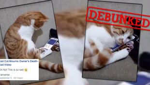 A cat watches a video of his owner and snuggles up to the telephone when he hears his voice. It's really cute… but it's also not true.