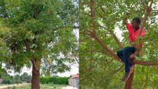 En Côte d'Ivoire, les populations prétendent à tort que les feuilles de neem soignent le coronavirus. Photos prises par Raphael N'guessan.