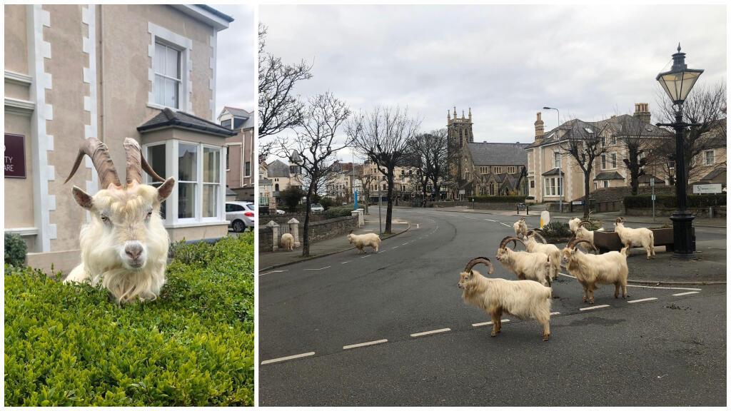 Des chèvres cachemire photographiées à Llandudno par le journaliste Andrew Stuart. Photos publiées sur son compte Twitter.
