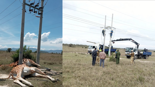 Three giraffes were killed by electrical wires in Soysambu Conservancy, Kenya the weekend of February 20, prompting the electrical company to heighten the wires.