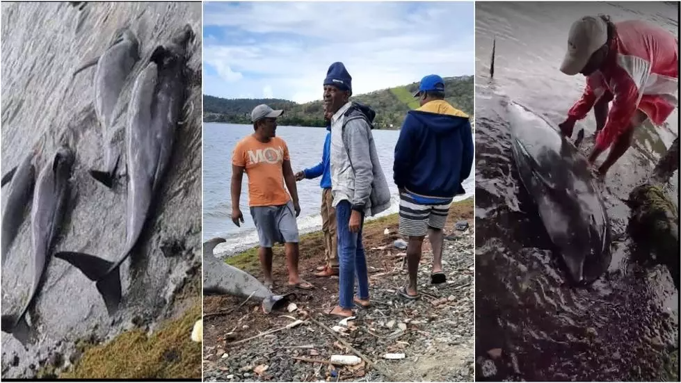 Left: four dead dolphins found at Petit Sable beach. Centre: locals assess the damage, a dead dolphin in the background. Right: a local resident rolls over a dead dolphin at Petit Sable.