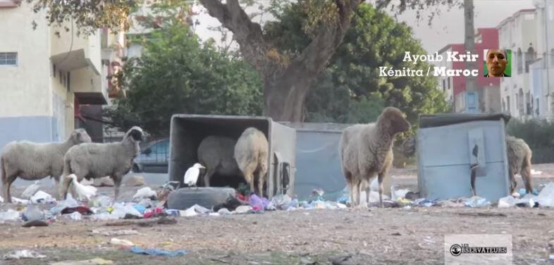 Capture d'écran de notre émission : le bétail envahit les rues de Kenitra au Maroc.