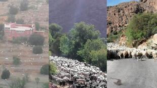 Dans l'Ouest du Maroc, plusieurs villages de la région de Souss-Massa voient leurs terres envahies par des troupeaux, leurs bergers profitant que les villageois soient en confinement. Photos envoyées par nos Observateurs.