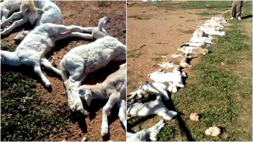 لقطة من الشاشة لفيديو أرسله مراقبنا في الجزائر، ويصور فيه 80 خروفا ماتوا بسبب طاعون المجترات الصغيرة