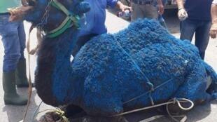 """Un dromadaire teint en bleu avant d'être sacrifié à Sidon, fief de la famille Hariri. Photo publiée sur la page Facebook """"Stop Cultural Terrorism in Lebanon""""."""