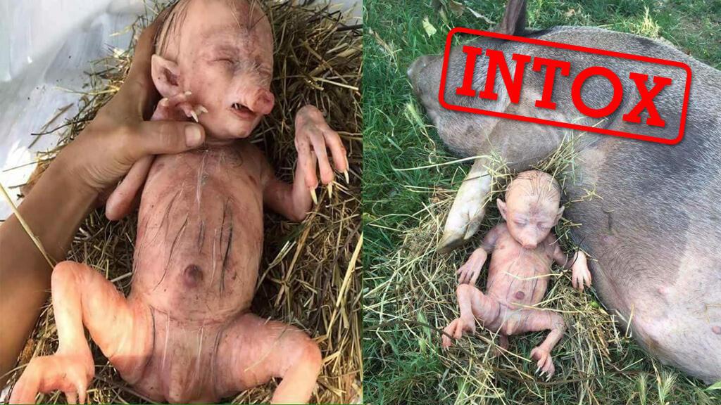 Plusieurs images faisant croire à la découverte d'un bébé mi-homme mi-cochon qui aurait été mis au monde par une truie ont circulé via de nombreux internautes dans le monde entier.