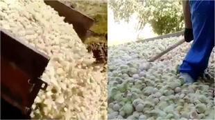 Images of poultry farmers destroying stocks of chicks caused controversy on social networks in Iran. One farmer told the France 24 Observers his colleagues have no other choice, because the COVID-19 pandemic has hit demand and caused feed prices to rise.