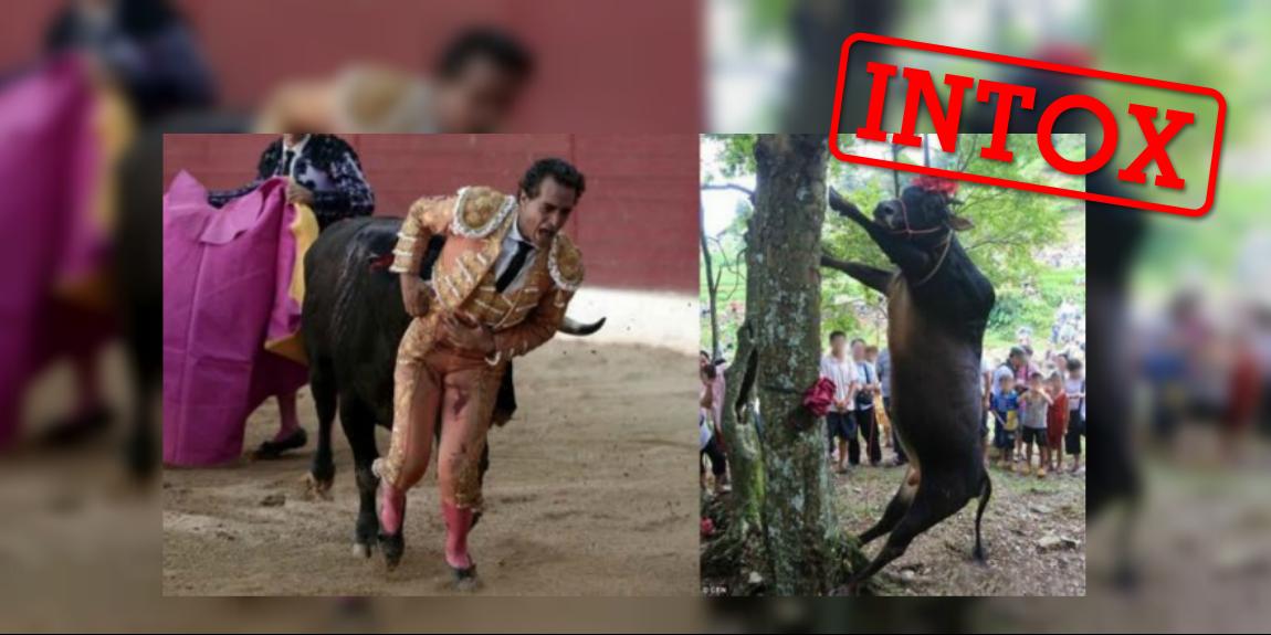 Ce montage essaie de faire croire que le taureau qui a tué un torero samedi dans le sud-ouest de la France a ensuite été pendu... mais c'est faux !