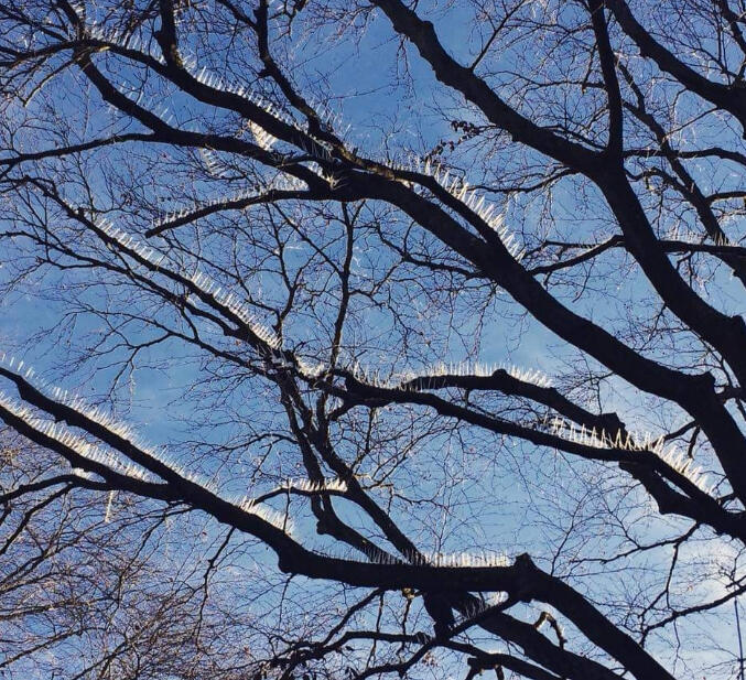 Metal spikes lining a tree's branches in Clifton, Bristol, UK. Photo from Twitter.