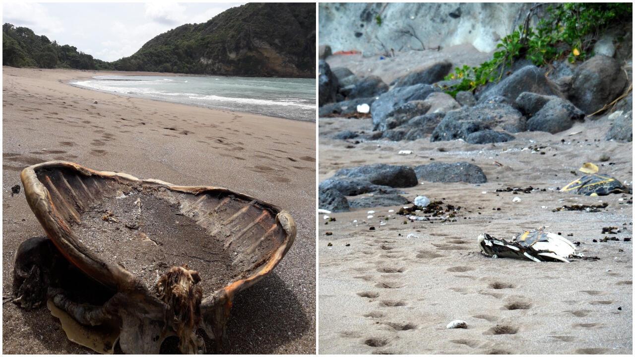 Des cadavres de tortues retrouvées sur la plage de Moya, à Mayotte, pendant le confinement. Crédits : Association Oulanga na Nyamba.